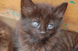fluffy black kitten with blue eyes