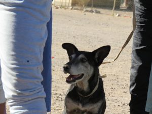 black and brown senior dog waiting in line