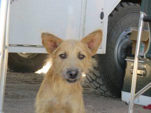 brown scruffy dog with big ears