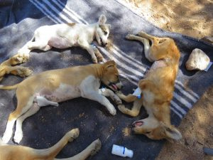 four dogs sleeping on a blanket after the operation